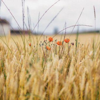 420 ha teren arabil  in Bihor, ideal pentru cultura cerealelor