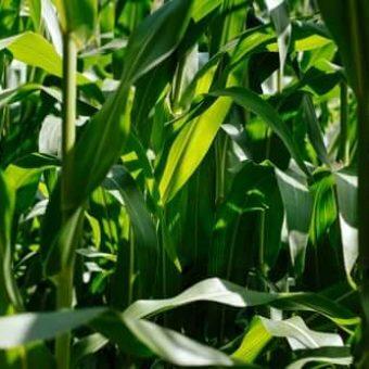 200 ha teren arabil situat injud Timis, compact 100 %